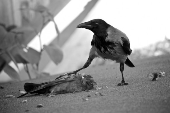 crow-facts